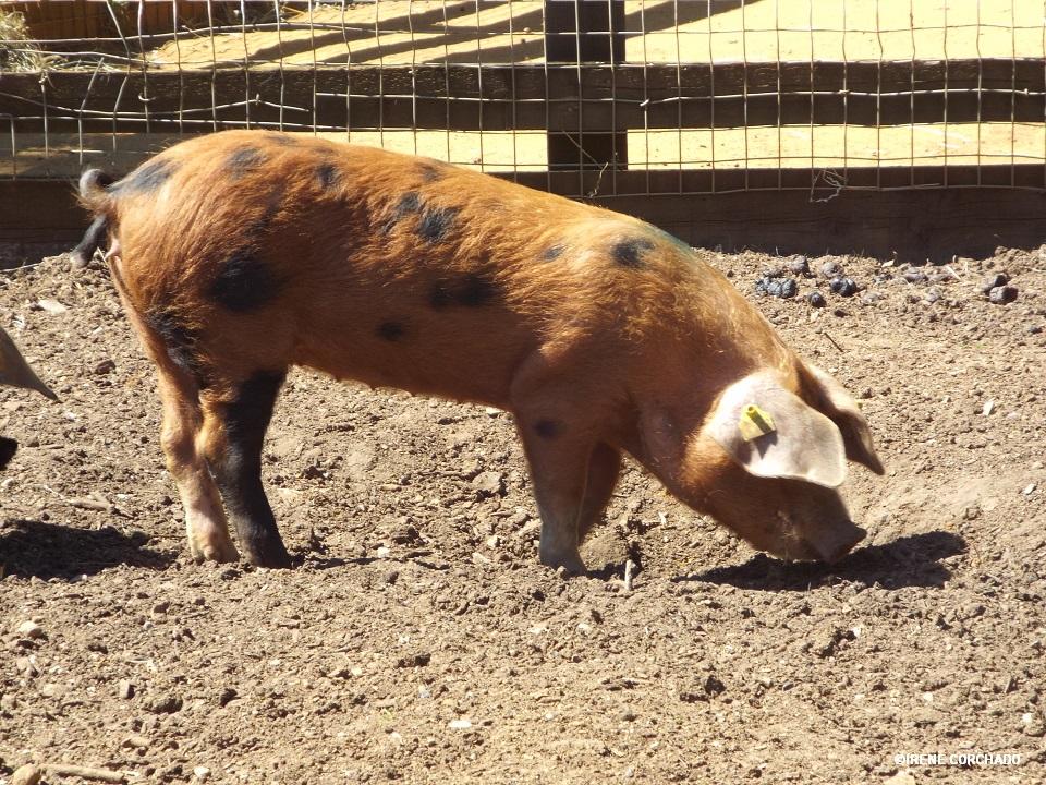 cerdo en Cotswold Wildlife Park
