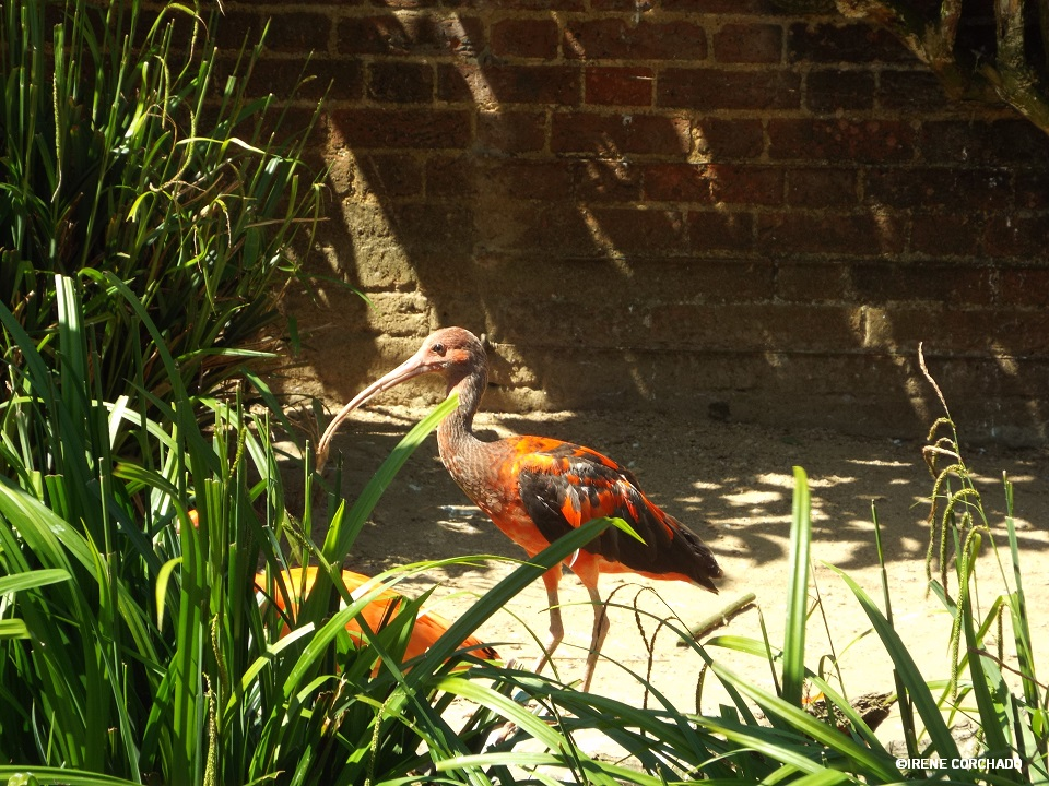 corocoro en Cotswold Wildlife Park.