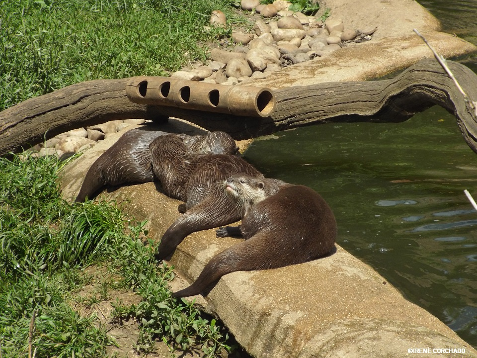nutrias en Cotswold Wildlife Park