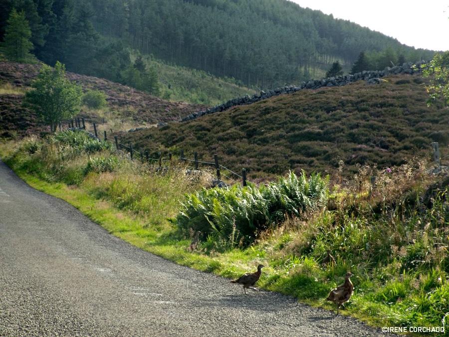 guia para conducir por inglaterra, gales y escocia_faisan