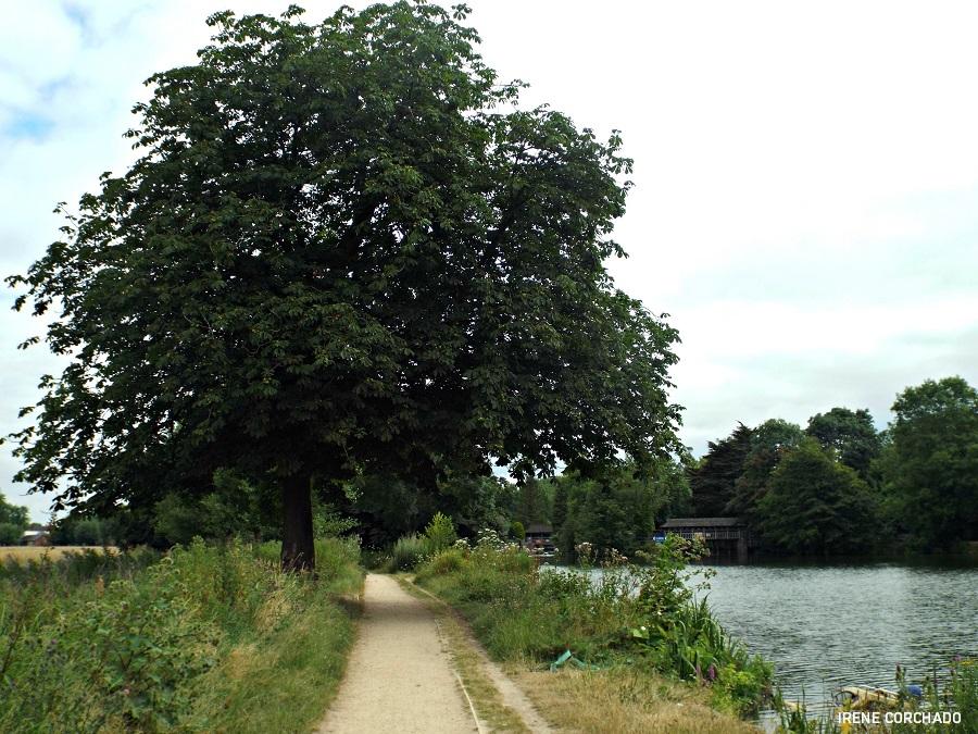 arbol y camino_oxford thames path